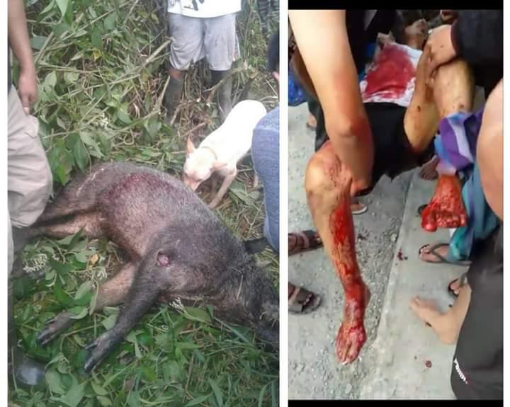 Warga Kerinci, 1 Tewas, 3 Terluka dalam peristiwa Babi ngamuk pada Rabu (14/08/2019).