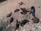 Rancangan UU menjadi bahasan lantaran beberapa hal. Takut denda, pria di Jambi ini nekat potong semua ayamnya.
