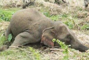 Warga Dihebohkan Dengan Penemuan Tulang Gajah, Diduga Kena Sengat Listrik