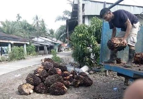 Harga Sawit di Jambi Turun, Rencana Program Disbun Jalan Ditempat