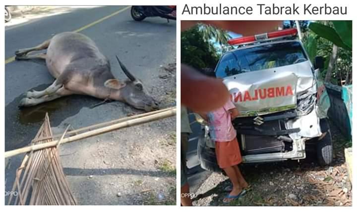 Bawa jenazah, ambulans menabrak ternak yang berkeliaran di jalan Kecamatan Bontomanai, Minggu (16/02/20). Akibatnya, mobil ringsek parah.