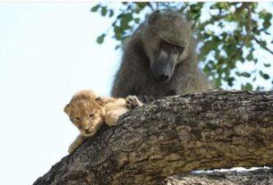 Berbeda habibat, Babun atau Baboon culik anak singa. Aksi nekat itu, lalu dilakukan dengan adopsi si anak singa.