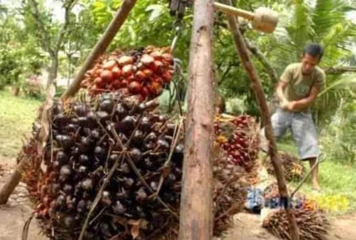 Ingin Dapat Harga Sawit Maksimal, Ini Saran Pemerintah Untuk Petani di Jambi