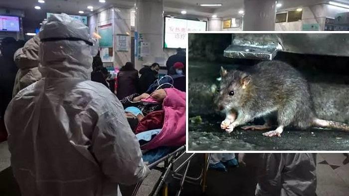 Belum usai Virus Corona COVID-19, muncul virus baru. Hantavirus yang muncul di China, lebih mematikan karena bisa tewas hanya beberapa jam.