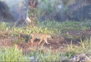 Gawat, Ada Harimau di Kebun, Warga Tanjabbar Jadi Resah