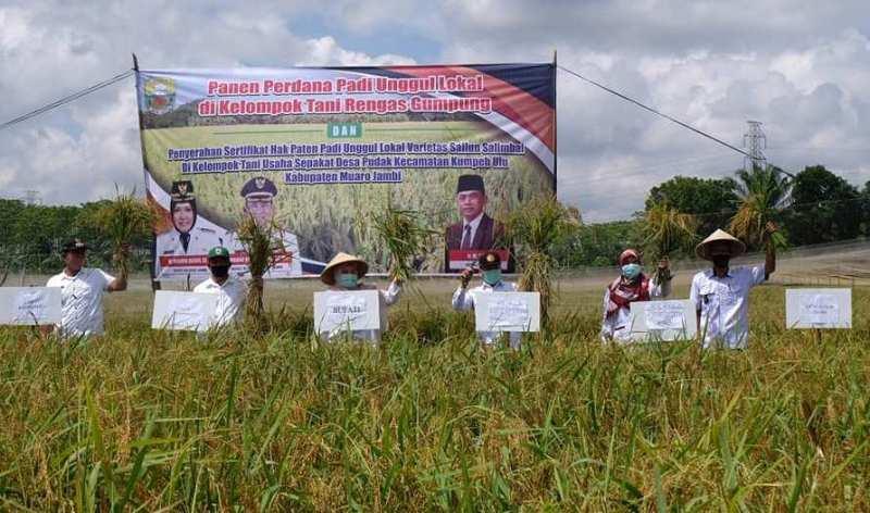 Kunjungan kerja di Desa Pudak, Kecamatan Kumpeh Ulu, Rabu (9/9/20) Bupati Muaro Jambi panen perdana padi varietas Sailun Salimbai.