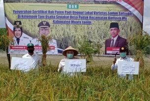 Bupati Muaro Jambi, Masnah Busro, Rabu (09/09/20) pagi panen perdana padi di Desa Pudak. Varietas padi Sailun Salimbai yang dipanen, beras