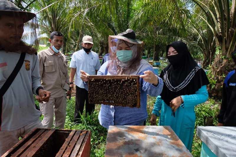 Bupati Muaro Jambi, Hj Masnah Busro, Sabtu (14/11/20) panen madu di Desa Danau Lamo, Kecamatan Maro Sebo. Ia berharap, bisa menjadi destinasi baru wisata edukasi.