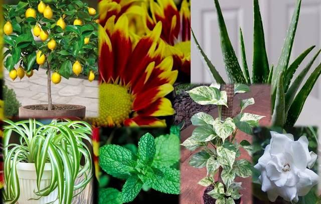 Banyak yang belum mengetahui, bahwa ternyata tanaman hias bukan hanya untuk di pandang mata, tapi bermanfaat untuk kesehatan juga ada.