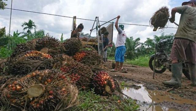 Pertengahan pekan kedua di Bulan Suci Ramadhan 1442 Hujriah, harga Tandan Buah Segar (TBS) kelapa sawit di Jambi terus meroket. Kenaikan ini akan berlangsung, sejak Jum'at (23/04/2021) hingga 7 hari kedepan.