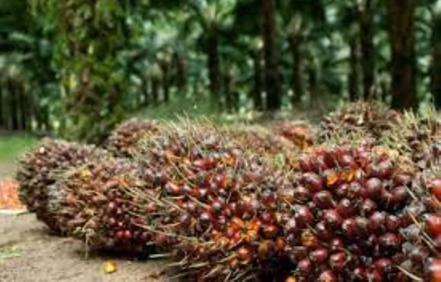 Kabar baik untuk masayrakat di Provinsi Jambi, khususnya para petani. Pasalnya, jelang bulan puasa tahun 2021 ini, harga sawit di Jambi naik, meskipun tak begitu signifikan.