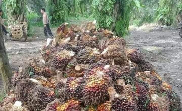 Beberapa pekan terkahir, harga Tandan Buah Segar (TBS) kelapa sawit di bumi Sepucuk Jambi Sembilan Lurah ini, terus menguat hingga pasca lebaran kemarin. Namun, untuk minggu ini harga sawit di Jambi mulai melemah pertengahan Juni, Jum'at (18/06/2021).