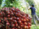 Harga minyak sawit mentah (crude palm oil/CPO), dan TBS Sawit di Jambi pada periode 23-29 Juli Juli 2021, mengalami kenaikkan cukup signifikan.