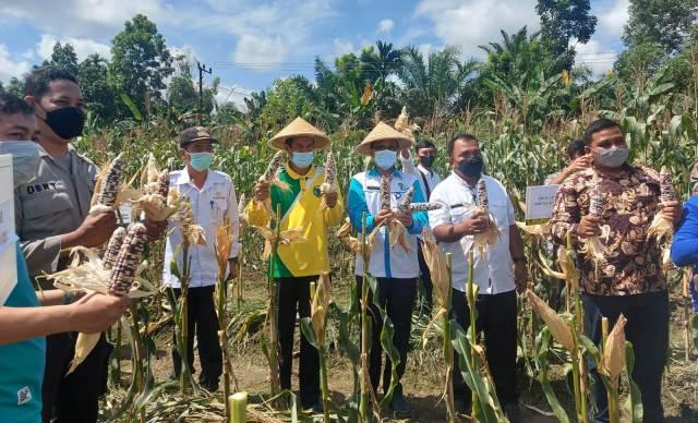 Sekretaris Daerah (Sekda) Kabupaten Batanghari M Azan, ikuti acara panen raya jagung kelompok tani Sumber Sari, di Desa Karmeo Kecamatan Batin XXIV, Rabu (15/9/2021).