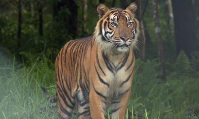 Kasus serangan harimau kembali terjadi di Kabupaten Merangin, Rabu (13/10/2021). Setelah pendulang emas kemudian wanita, kali ini pemuda Renah Pembarap, Kabupaten Merangin meregang nyawa usai diterkam harimau.